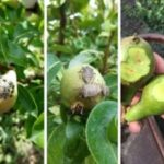 Danni da cimice asiatica, in Emilia-Romagna i primi rimborsi
